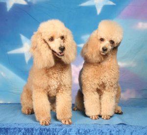 apricot miniature poodles