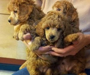 Miniature Poodle Breeders