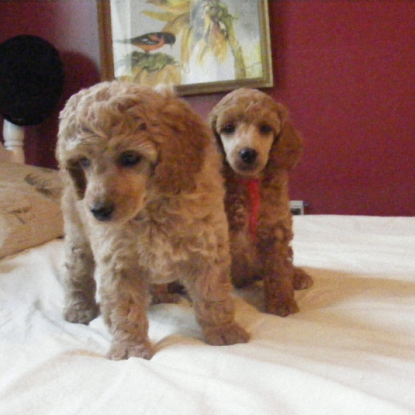 Nc Miniature Poodle Breeders Akc Registered Mini Poodle
